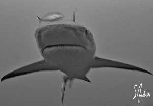 This image is of a Reef Shark bearing down! This image wa... by Steven Anderson 